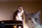【泰國 普吉島】【下午茶】 B Cat Café 貓奴們注意,到普吉鎮找貓店長喝咖啡!